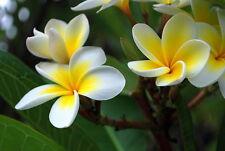 Semi/Frangipani Plumeria -10 Semi di colori misti freschi Vitali