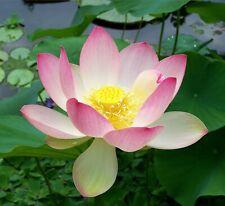 Sacred Lotus Nelumbo nucifera 10 Seeds (Free Shipping)