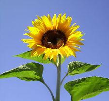 Sonnenblume Samen 2014 Helianthus annuus Riese 4 Meter King Kong