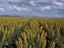 50 MENNONITE SORGHUM Sorghum Bicolor Syrup Flour Seeds *Comb S/H