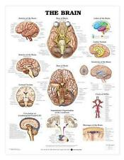 The Brain Chart/Charts/Models Anatomical Anatomy