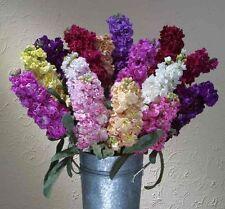 Matthiola incana Flower Seeds Summer annuals from Ukraine