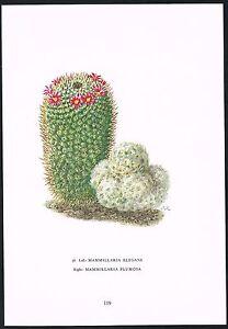 1960s Vintage Mammillaria Elegans Plumosa Cactus Flower Botanical Art Print