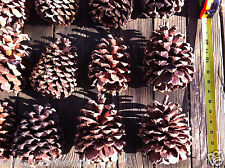 Extra Large Pine Cone For Art, Crafts, and Home Decor