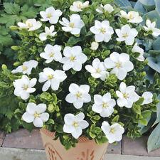 Set of 3 Winter Hardy Gardenia 'Kleim's Hardy' Established in 9cm Pots