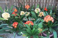 10 fresh clivia seeds from different plants