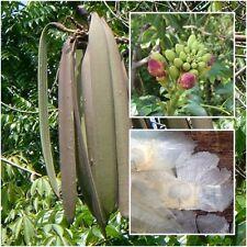 Oroxylum indicum 50 seeds, Broken Bones Tree, Damocles tree, Rare Tropical Seeds