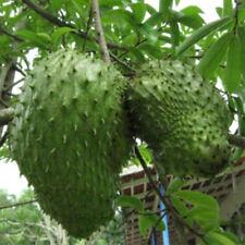 20Pcs Soursop Tropical Fruit Custard Apple Graviola Annona Muricata Seeds Newly