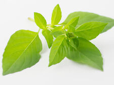 150 graines de BASILIC CITRON (Ocimum Citriodorum) H400 LEMON BASIL SEEDS SAMEN
