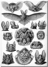 "ERNST HAECKEL CANVAS PRINT Art Nouveau Vintage Bat 8""X 10"" Chiroptera"