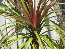 Beaucarnea guatemalensis Curly Nolina Red Ponytail Palm 10 seeds
