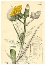 Blumen, Blüten, Kräuter - Sumpf-Gänsedistel - Altkolorierter Kupferstich 1801