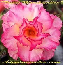 """ADENIUM OBESUM DESERT ROSE TRIPLE FLOWER """" TRIPLE MARSHMALLOW """" 20 seeds NEW"""