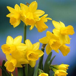 100 x Tete a Tete - Spring Flowering Bulbs - FREE P&P