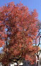 Drumunds Red Maple