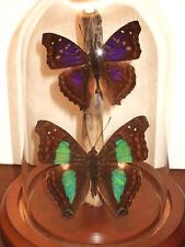 The Admirals Butterfly Dome  (Doxocopa agathina & laurentia cherubina)