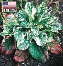 25+ Seeds Variegated Plantain (Plantago Major Variegata) Perennial ornamental Us
