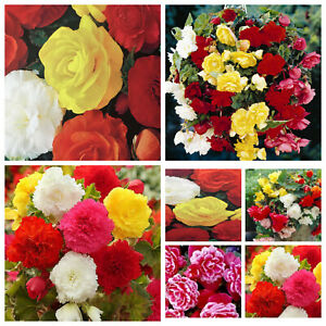 BEGONIA BULBS/CORMS/TUBERS VARIETY MIXED,TRAILING FOR SUMMER HANGING BASKET,POTS