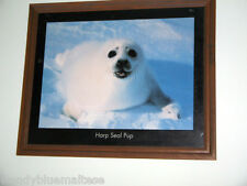 Harp Seal Pup Timber Framed Photographic Art Print Excellent Colour 56x46cm