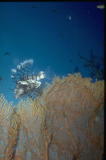 306022 Lionfish At Gorgonian Coral A4 Photo Print