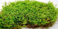 Live moss low carpet, for terrarium,vivarium,frogs, orchids,reptiles or miniatur