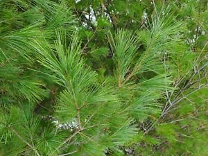 "Fresh Cut Real Boughs 20 15"" White Pine Evergreen Tip Christmas Winter Wedding"