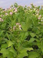 Echter Rauchtabak Samen -nicotiana tabacum-   100 - 100.000 Samen Mengenauswahl