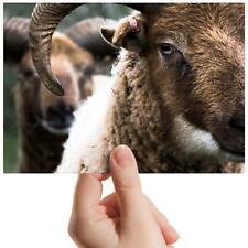 "Bighorn Sheep Wildlife Animal Small Photograph 6""x4"" Art Print Photo Gift #16806"