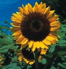 Kings Seeds - Sunflower Giant Single - 50 Seeds