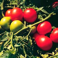 Super Sonic Tomato  20 Seeds! COMBINED S/H VERY MEATY! SEE OUR STORE!