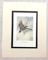 1929 Antico Uccello Stampa Sparrow Hawk Di Preda Ornitologia Fauna Selvatica Art