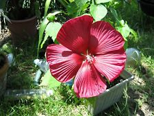 TWO DEEP RED 'HONEYMOON' HARDY HIBISCUS PLANTS SEEDLINGS