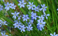 BLUE EYED GRASS - 3 LIVE PLANTS Perennial Ornamental Flowering - GroCo Plant USA