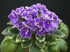 April Romeo 2 Blätter/2 leaves African Violet Usambaraveilchen