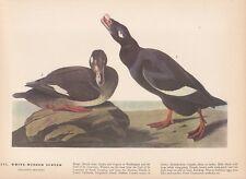 """1942 Vintage AUDUBON BIRDS #247 """"WHITE WINGED SCOTER"""" Color Art Plate Lithograph"""