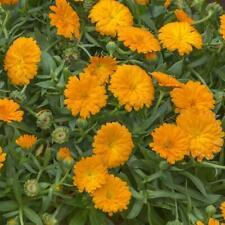 50 Calendula Powerdaisy Orange Live Plants Plugs Garden Home Diy Planters D10002