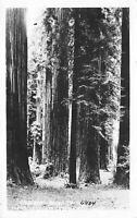 Humboldt County California 1940s RPPC Real Photo Postcard California Redwoods