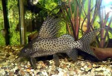 10 (ten) x Synodontis eupterus (Featherfin Catfish)