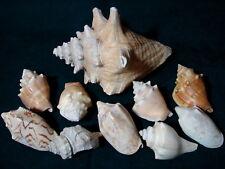 "Awesome Lot of 10 Assorted CONCH SEASHELLS 3"" - 7"" Nautical & Aquarium Decor"