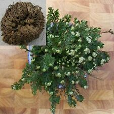 RESURRECTION PLANT Live! Rose of Jericho Dinosaur Fern Miracle Air