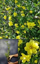 JASMINUM NUDIFLORUM alv Gelsomino di san Giuseppe pianta Winter jasmine plant
