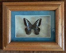 Glass Framed Real Butterfly PARTHONOS SYLVIA  LILACINUS Australia Art Specimen
