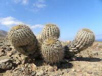 10 Copiapoa haseltoniana SEEDS semi cactus kakteen seme no ariocarpus huernia