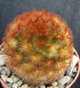 Mammillaria Carmenae select orange spined form 4.7cm collectors Mexican cactus