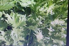 """10 Samen Japanischer Blattsenf """"Mizuna"""",Brassica rapa """"Mizuna""""#595"""