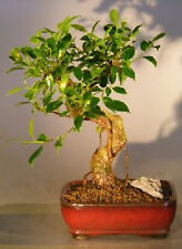 Bonsai Tree for Sale Online Ficus Retusa Bonsai Tree Medium Curved Trunk C1218