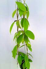 Hoya eryhtrostemma white [B17J1],1 pot rooted plant20-22 inches Unique!