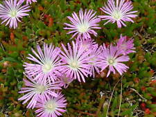 Disphyma crassifolium - Jelly Beans 20 seeds