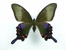 Papilio bianor ssp. dehaani Weibchen