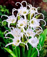 Hymenocallis Festalis Spider Lily Bulbs x 3 Size 12/+ Perennial, Conservatory